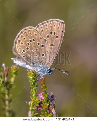 Alcon Blue Butterfly Vertical