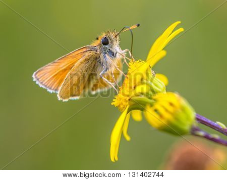 Essex Skipper Yellow Flower