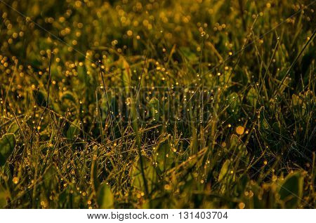on a green lawn in the early foggy morning . all the grass in the morning dew . the sun's rays fall on the wet grass and flowers