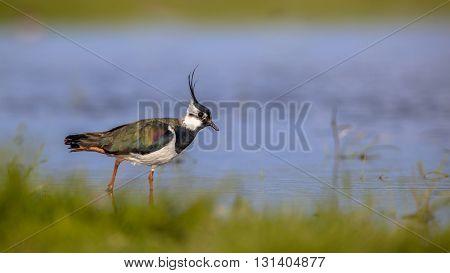 European Northern Lapwing