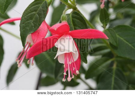 Closeup of beautiful red and white fuchsia flowers