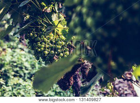 green grapes in vineyard in Napareuli city in Georgia