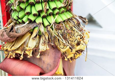 Selective focus and close up, Banana tree with a bunch of green bananas growing