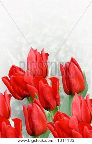 Red Tulips Over Gradient