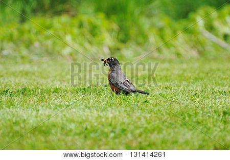 American Robin in a Grassy Field Feeding on Worms