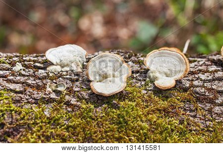 Mushrooms growing on the bark of a tree in a place with moss.