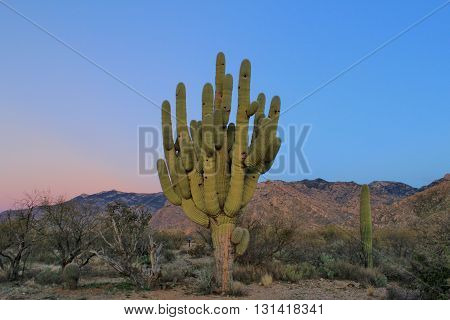 Southern Arizona Saguaro Cactus is a Desert Giant