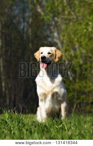 happy dog Golden Retriever sitting on the grass