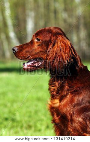 Beautiful dog Irish setter in summer closeup portrait in profile