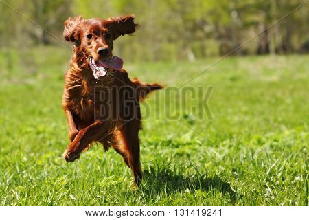 lucky dog Irish setter playing in the summer on the grass running fast