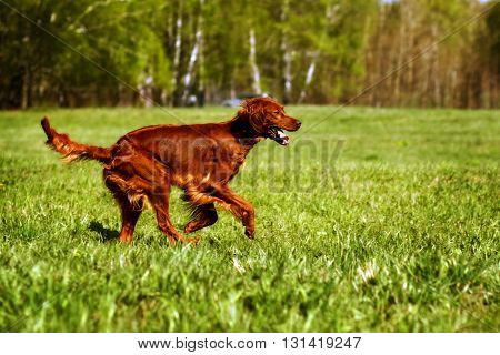 dog Irish setter running in the summer on the green grass side view