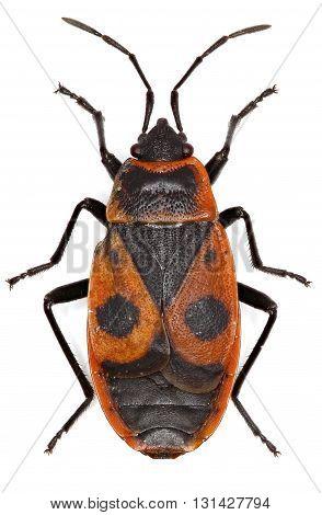 The Firebug on white Background  -  Pyrrhocoris apterus  (Linnaeus, 1758)