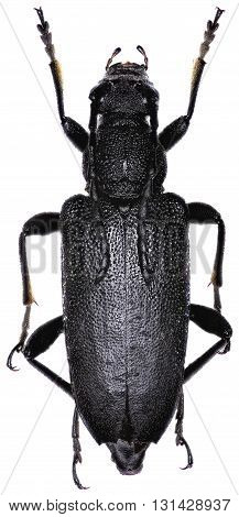 Large Black Longhorn Beetle on white Background  -  Stictoleptura scutellata (Fabricius 1781)