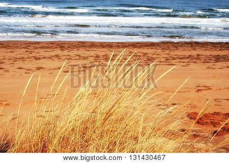 Autumn coloration of clumps of wild beach grass on a Prince Edward Island beach.