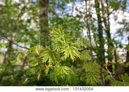 Young maple with fresh leaves. Acer is a genus of trees or shrubs commonly known as maple.