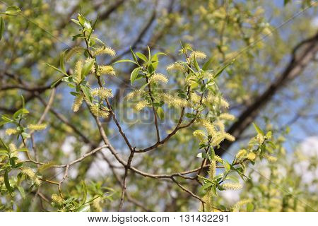 Willow with flowers. Willows, also called sallows, and osiers, form the genus Salix, around 400 species of deciduous trees and shrubs.