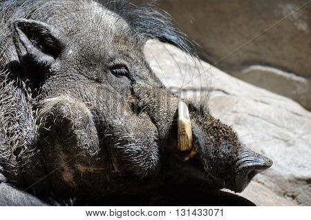 Side view of face of a Visayan Warty Pig