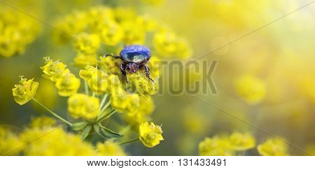 Website banner of a Rose chafer bug as eating yellow flowers