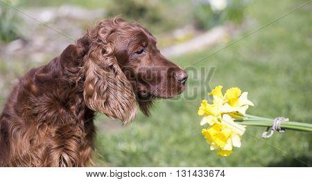 Banner of Irish Setter dog smelling daffodil flowers