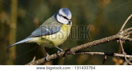 Urban bird website banner - blue tit sitting on a branch