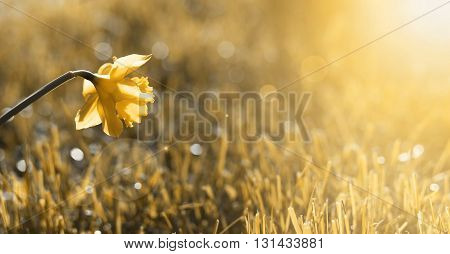 Banner of beautiful Easter daffodil flower in Spring