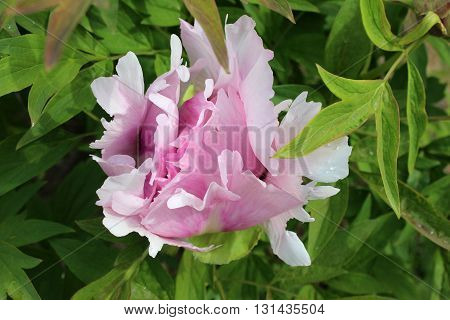 Big pink flower of Chinese peony. Chinese tree pink peony in blossom. Closed rosy peony flower.