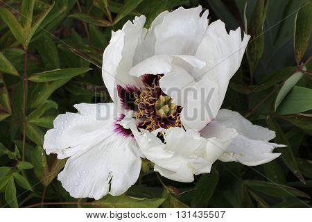 Big white flower of Chinese peony. Chinese tree peony in blossom. Wide open white peony flower.