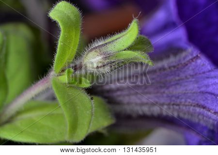 Detail of flowers petunias, which is purple in color, has a green cup loaf is a favorite flower,