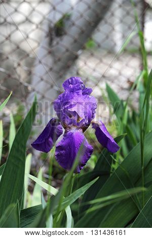 Irises after the rain. Iris flower with rain drops on the petals. Green scenery in the garden and fresh flowers.