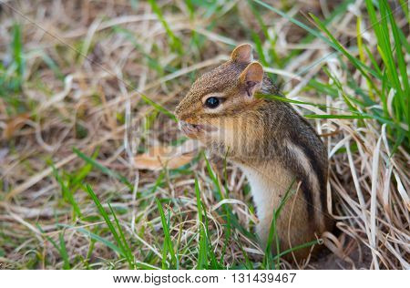 Cutest little chipmunk ever, (Tamias), smallest member of the squirrel family, pops out and sits atop his burrow in the ground.  Springtime animal in the grass.