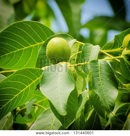 Green walnut yaoung fruits ripening on the tree with leaves, natural agricultural background