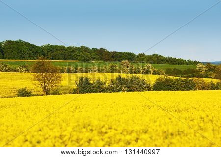 Yellow field with rapeseed flowers and trees between fields. Oil seed rape meadow in blossom