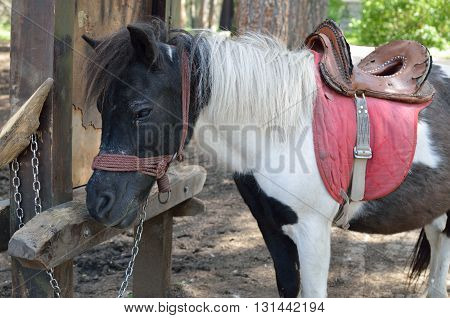Lovely black and white pony with saddle resting