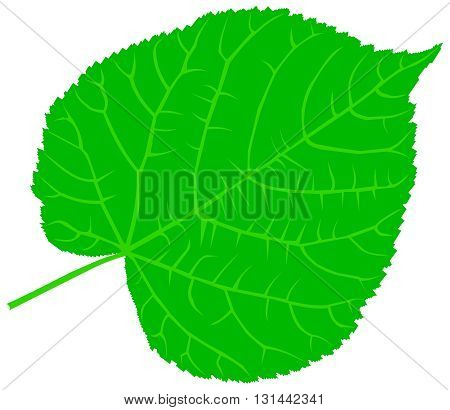 linden ,lime, teil, lime-leaf, vector, isolated linden leaf