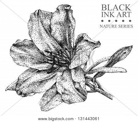 Illustration with flower Azalea drawn by hand with black ink. Graphic drawing pointillism technique. Floral element for design