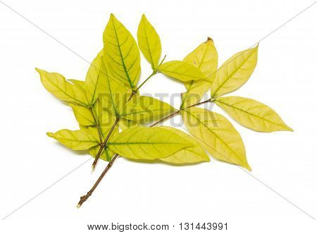 golden yellow leaves vein isolated on white background