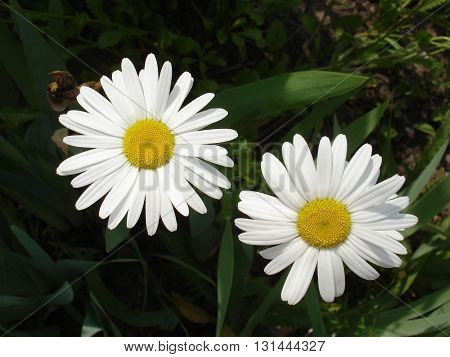 Two white and yellow daisies flowers .