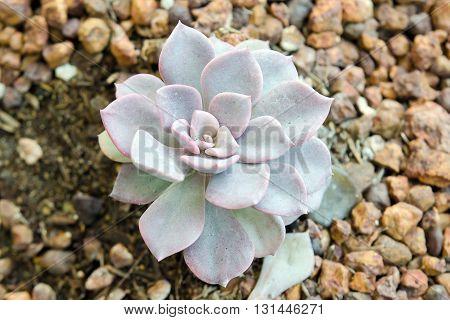 FLOWER CRASSULACEAE OR ECHEVERIA OR BLACK PRICE on rock soil garden in Thailand