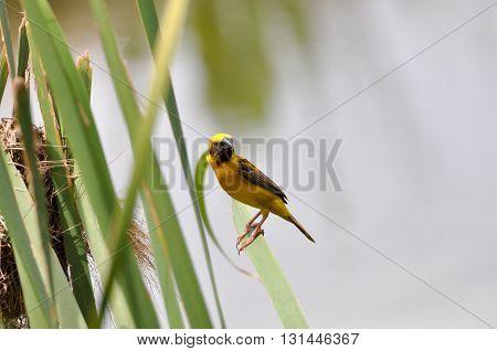 A yellow sparrow bird hang on cattail