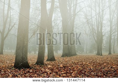 Foggy autumn landscape - autumn bare trees and fallen yellowed leaves in the park in foggy weather