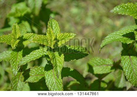garden peppermint plant growing wild in early spring