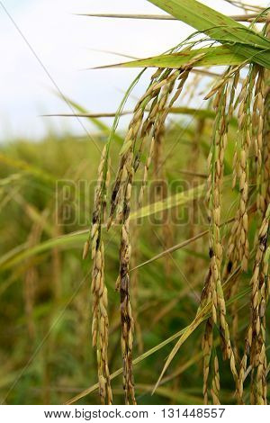 rice that infected with dirty panicle disease