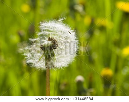Dandelion with half-blown ripe seeds on bokeh background macro selective focus shallow DOF