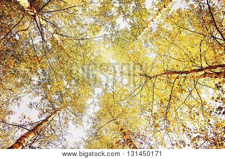 Autumn landscape - branches of birches with yellowed leaves extending to the sky in autumn sunny day. Vintage filter aplied.
