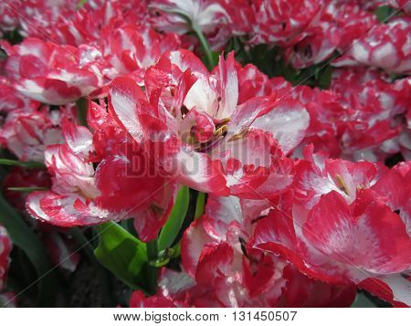 Closeup of streaked tulips with droplets in spring