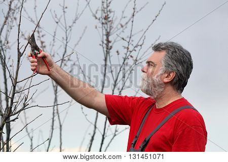 Man Pruning Tree In Orchard