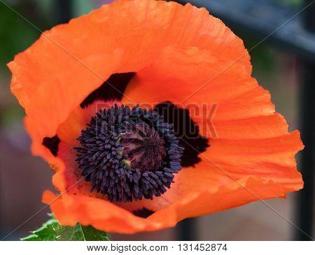 Orange Poppy Center Macro