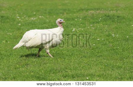 white turkey albino walks on a green meadow