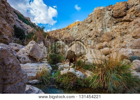 The stream of cold pure water flows through the beautiful gorge Ein Gedi, Israel. Wonderful Middle Eastern landscape
