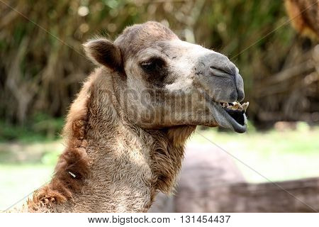 Portrait of a camel. Muzzle camel closeup